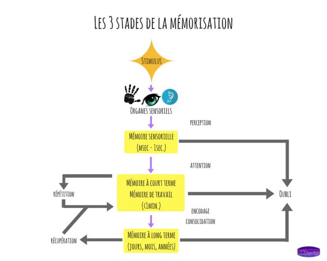 sante-essentielle-les-3-stades-de-la-memorisation