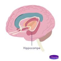 sante-essentielle-memoire-hippocampe