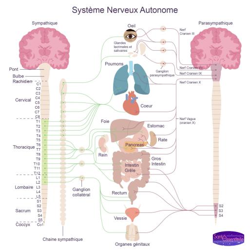 sante-essentielle-systeme-nerveux-autonome-gestion-du-stress